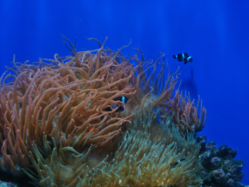An Anemone with two Anemonefish (Clownfish)