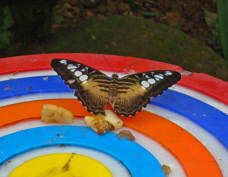 Black and Tan Butterfly Eating