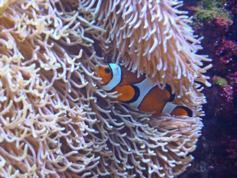 Clownfish (aka Anemonefish)