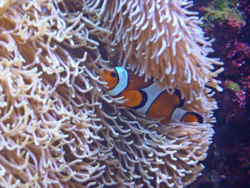 Clownfish (aka Anemonefish)