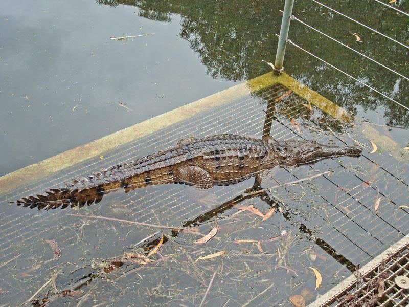 Small crocodile in a billabong